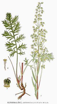 538 Artemisia laciniata