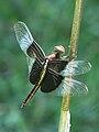 6h-dragonfly.jpg