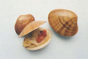 Smooth clam - Image: 800px Fasolaro