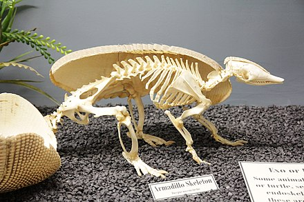 Skeleton of 9-banded on display at the Museum of Osteology. 9-banded armadillo skeleton.jpg