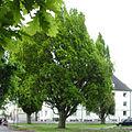 AB ND12 Quercus pedunculata fastigiata.jpg