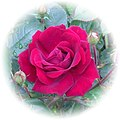 A Gorgeous Red Rose Moncton (8438178610).jpg