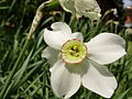 A Narcissus flower.jpg