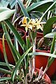 A and B Larsen orchids - Brassocattleya Sommersonne 997-10.jpg