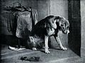 A bloodhound with a heavy collar is looking intently towards Wellcome V0020814.jpg