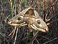 A breeding pair of Emperor Moths - geograph.org.uk - 1227260.jpg