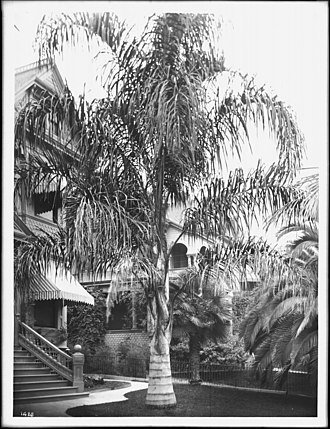 Syagrus romanzoffiana - A 'Cocos plumosos' palm tree growing in a lawn in front of a residence in Los Angeles in 1920.