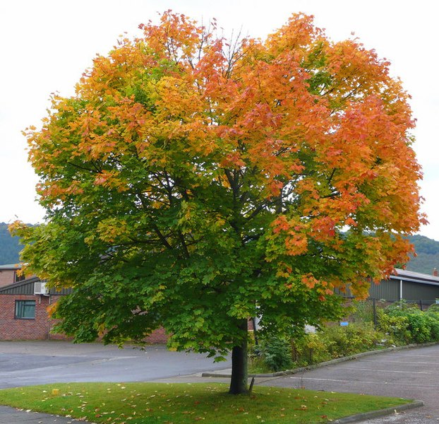 File:A fine Norway Maple, Acer platanoides - geograph.org.uk - 993499.jpg