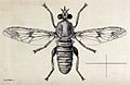 A fly (Hoplistomerus serripes). Pen and ink drawing by A.J.E Wellcome V0022584.jpg