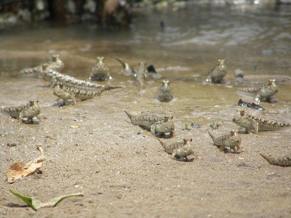 A group of mudskipper on land
