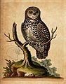 A little owl sitting on the branch of a dead tree. Coloured Wellcome V0020560.jpg