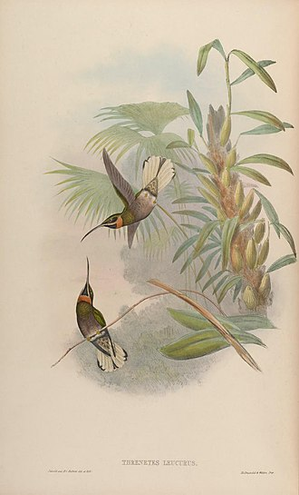 Pale-tailed barbthroat - Image: A monograph of the Trochilidæ, or family of humming birds (Plate 13) (6987075833)