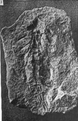 A monograph of the terrestrial Palaeozoic Arachnida of North America photos 1-5 3.png