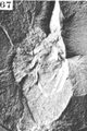 A monograph of the terrestrial Palaeozoic Arachnida of North America photos 60-69 67.png