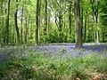 A typical bluebell scene - geograph.org.uk - 1527973.jpg