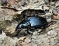 Abax parallelepipedus Carabidae (45453932244).jpg