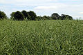Abbess Beauchamp and Berners Roding, Essex England - crop field.JPG