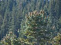 Abies procera top Sherrard Point.jpg