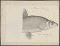 Abramis vimba - 1700-1880 - Print - Iconographia Zoologica - Special Collections University of Amsterdam - UBA01 IZ15000130.tif