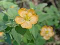 Abutilon fruticosum.jpg