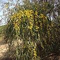 Acacia Saligna in Marian di Vasto.jpg