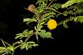 Acacia rorudiana.jpg