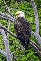Acadia National Park, bald eagle.jpg