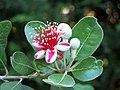 Acca sellowiana - panoramio (422).jpg