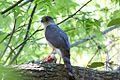 Accipiter striatus, Dauphin Island, Alabama 1.jpg