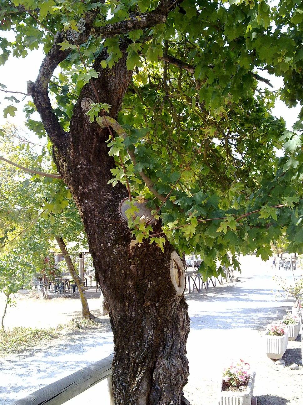 Acer campestre in Appennino2