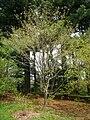 Acer henryi, Arnold Arboretum - IMG 6032.JPG
