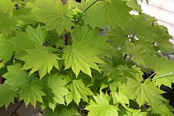 Acer shirasawanum leaves.jpg