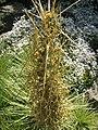 Aciphylla subflabellata, RBGE 2010, 2.jpg