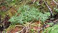 Aconitum Shoots1.jpg