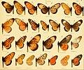 AcraeaSpecies2.jpg
