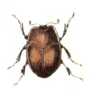 Histeridae - Acritus minutus