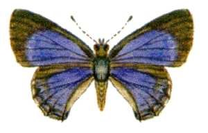 Ocean Grove Nature Reserve - The small ant-blue is now extinct in the reserve