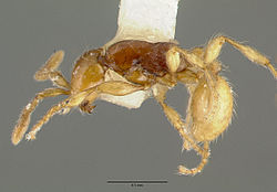 Aenictus ceylonicus castype06956 head 1.jpg
