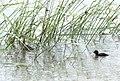 Aenigmatolimnas marginalis, haan en kuiken, Kgomo-kgomo-vleiland, Birding Weto, a.jpg
