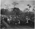 Africa. Cameroons. Athough cattle raising is restricted to the northern part of the Cameroons because the tsetse fly... - NARA - 541654.tif