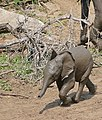 African Elephant (Loxodonta africana) calf running to the waterhole ... (32200608102).jpg