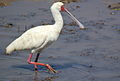 African Spoonbill, Platalea alba at Pilanesberg National Park, South Africa (10579079243).jpg
