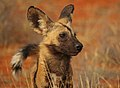 African wild dog (Lycaon pictus pictus) head.jpg