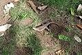 Agama femelle ponte d'œufs 04.jpg