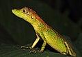 Agamidae in W-Javan rainforest (5022318069).jpg