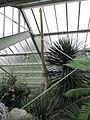 Agave filifera in flower (10410892394).jpg