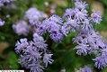Ageratum houstonianum Blue Puffs 1zz.jpg