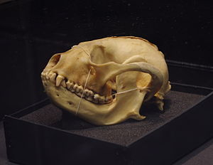 Red panda - Red panda skull