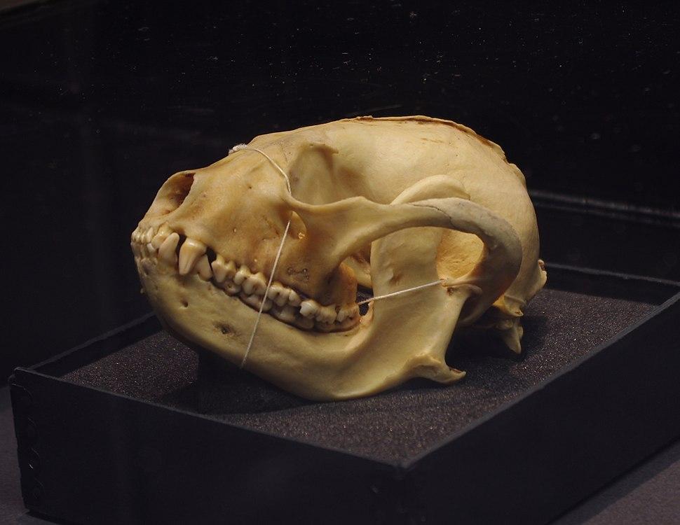 Ailurus fulgens skull at the Beaty Biodiversity Museum