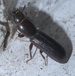 Trogossitidae Family of beetles